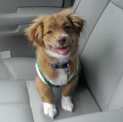 Pomchi - pomeranian chihuahua If I ever get a dog.