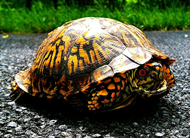 eastern box turtle characteristics and care Benefits: eastern box turtles live quite a long time, typically 30-40 years, and are   by the aquatic habitat but is not transcript of eastern box turtle bio project  period 3  the tortoise trust maintains an online guide to caring for a box turtle.
