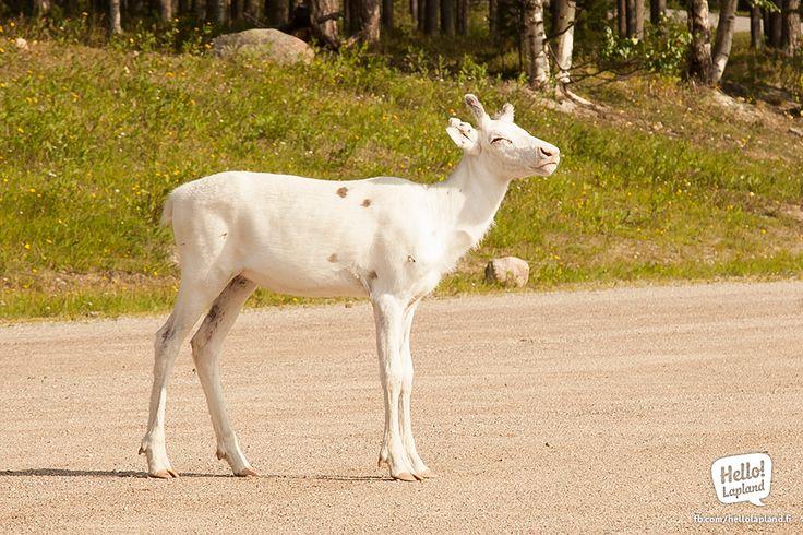 Little Albino reindeer in Rovaniemi.