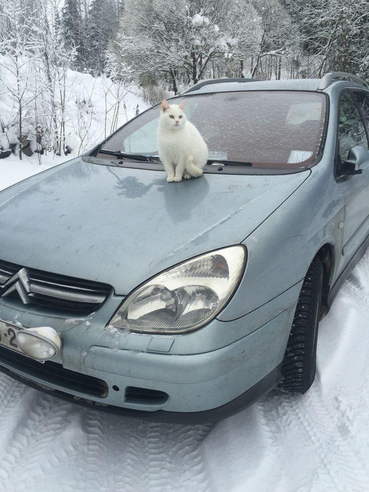 Kissa, miiru talvimaisemissa