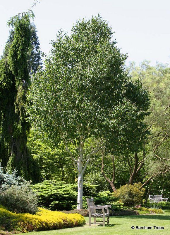 Silver Himalayan Birch Fast growing upright conical