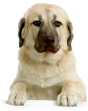 Anatolian Shepherd: pros and cons
