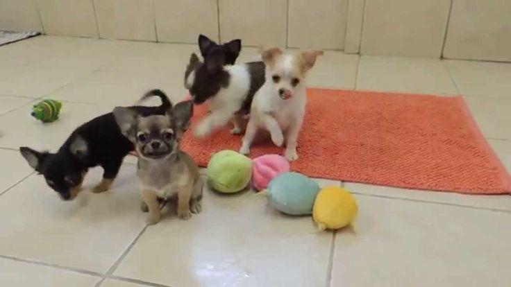 Elevage Chihuahua de la vallée des Cèdres Bleus - Chiots Chihuahua dispo...