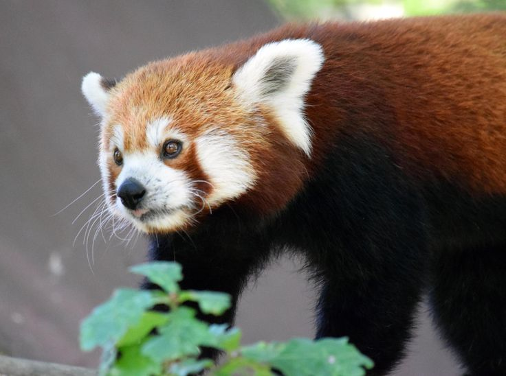Petit Panda roux, parc animalier de La Haute Touche. France Marie-Evelyne LACOLOMBERIE