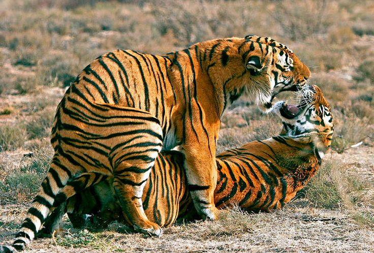 tigers having sex