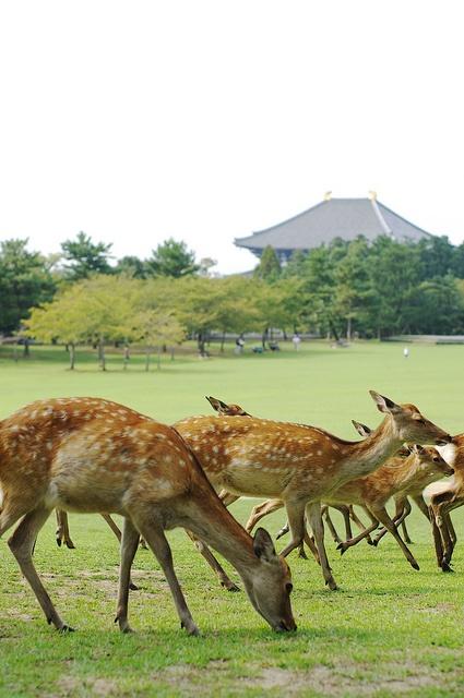 Nara Park, Japan... We were in Nara, deer all over mingling with people!