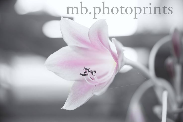 Visit my Etsy store to see what other prints are available. pink black and white photo, romantic flower print, pink botanical art, black white and pink wall art, pink gift for her, floral art by mbphotoprints on Etsy
