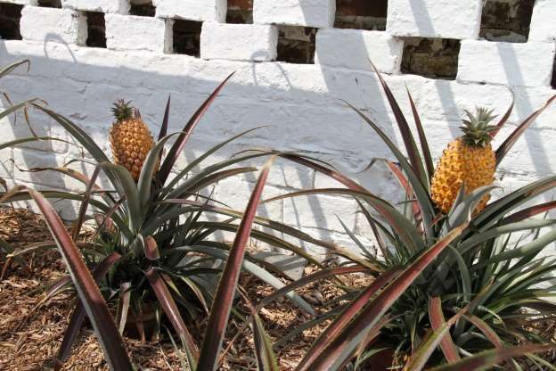 295a238e6e5e8937c31267a897d18874 - Pineapples From The Lost Gardens Of Heligan