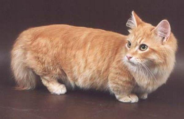 El cuerpo del gato Munchkin es de tamaño medio con un nivel de columna con un ligero aumento desde el hombro hasta la cadera. La TICA separa la raza en dos grupos por la longitud del pelo: Munchkin y Munchkin de pelo largo.