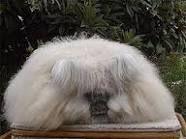 conejo angora - Google Search