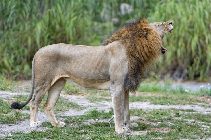 433 Best Images On Pinterest Lion Big Cats And Lions