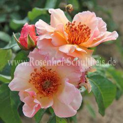 Meg - Suche - Rosen von Schultheis