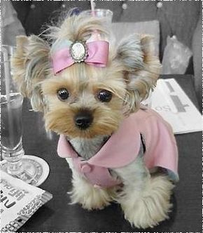 Omg--- I want this Yorkie!! But if you had a puppy this freaking adorable, you'd dress her in ridiculous coordinating pink outfits and accessories, too.
