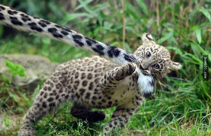 外表帥氣的雪豹最愛做的事竟然是「叼著毛茸茸的尾巴」,背後原因讓網友驚呼「原來尾巴這麼有用啊」! - boMb01