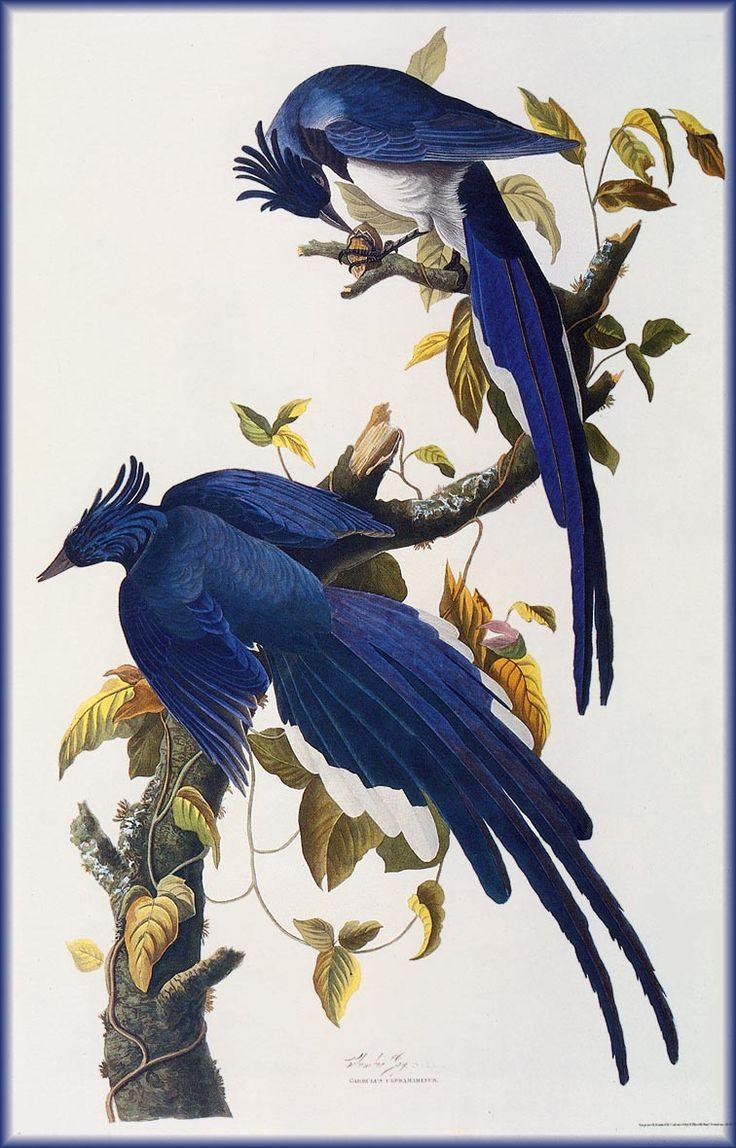 John James Audubon Blue Geai John James Audubon Painting 44.jpg