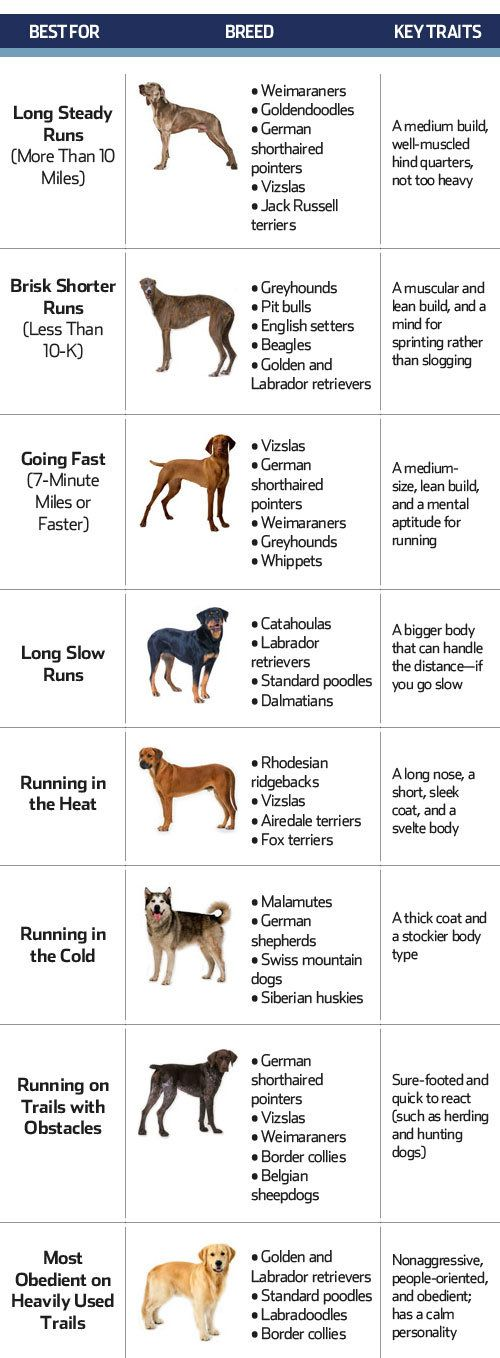 10 Best LARGE Dog Breeds for Runners; there are plenty of great small breed running companions too- dachshunds are designed to run! Jack Russels can run marathons, etc, etc....
