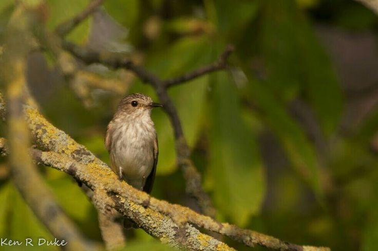 Spotted Flycatcher (UK), Grauschnäpper (DE)