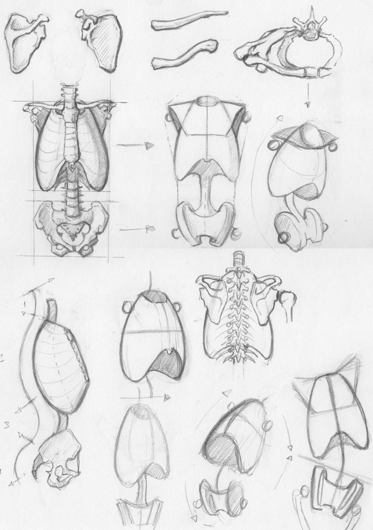 Random anatomy sketches 2 - a collection of drawings of simplified ribcages and pelvises by RV1994 on deviantART.