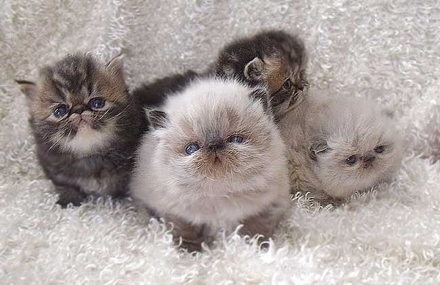 Himalayan & Persian Kittens  - soooo cute... Just the sweetest breed ever.