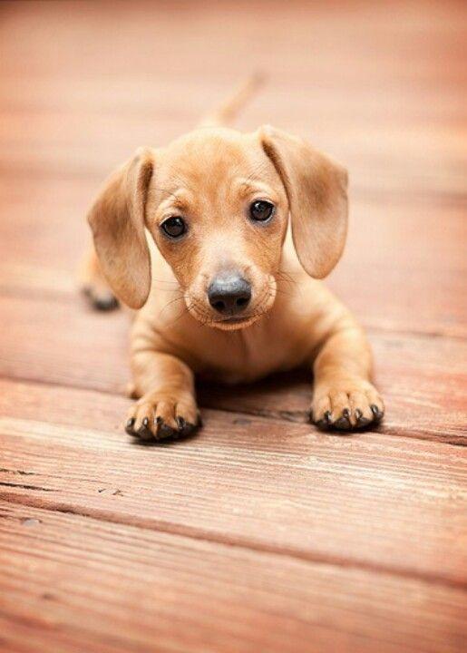Baby doxie - dachshund - sausage dog