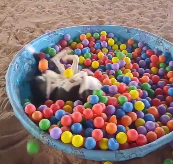 I have never had anywhere near this amount of fun in plastic balls as this pit bull. This dog is having a good time though!