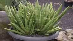 Sansevieria cylindrica (cylindrical snake plant) care & info ...