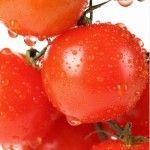 Foto Tanaman Tomat Merah Terkena Air Hujan