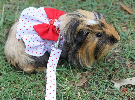 Guinea pig  dress and  matching  leash  . Neck  size by turvytopsy