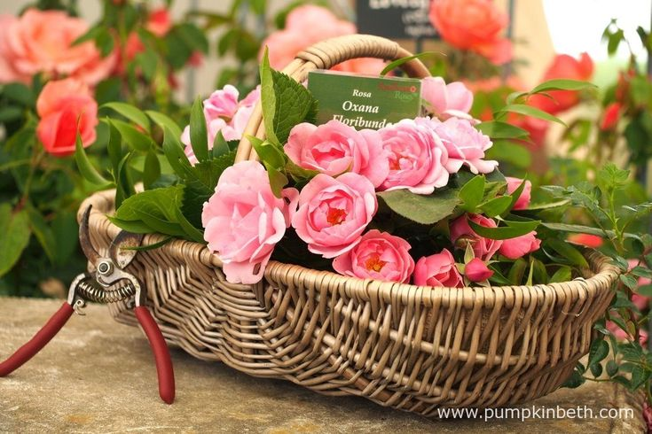 A beautiful basket of Rosa 'Oxana' blooms, as pictured inside The Festival of Roses Marquee, at the RHS Hampton Court Palace Flower Show 2017.