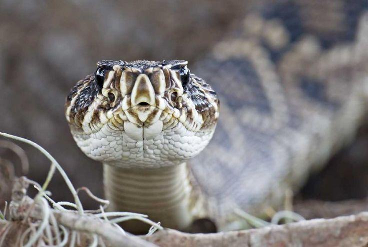 Watch your Step ... (eastern diamondback rattlesnake), by Arthur Morris