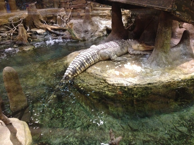 Alligator at the Springfield, Mo. Bass Pro headquarters.