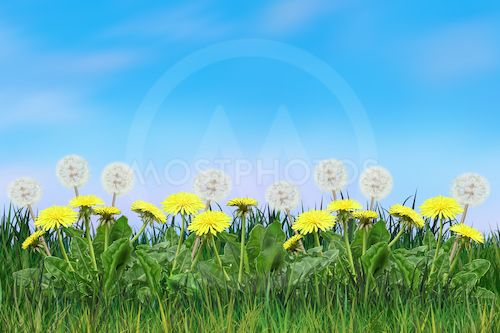 Yellow dandelion flower( mixed )
