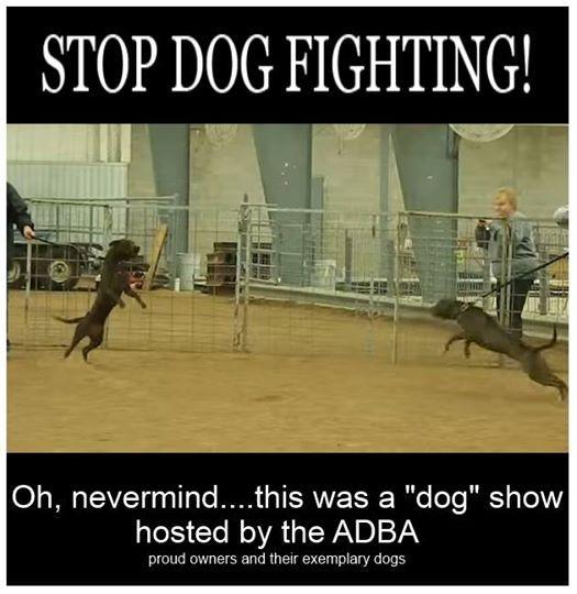 Pit bulls at a dog show....