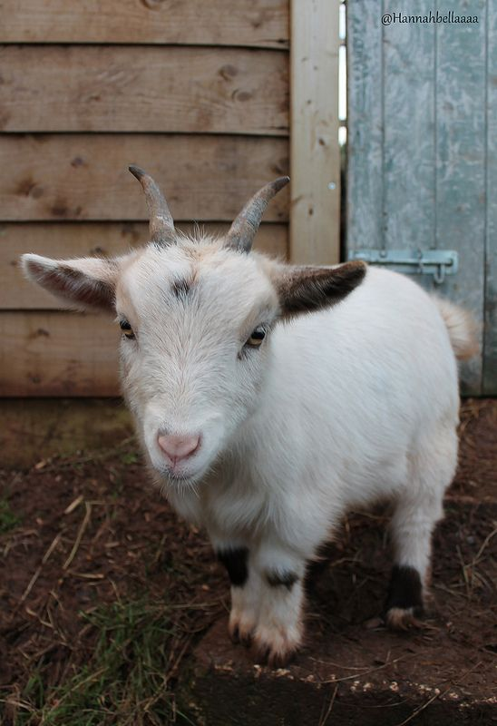 pygmy goat | Hannahbella Photography | Flickr