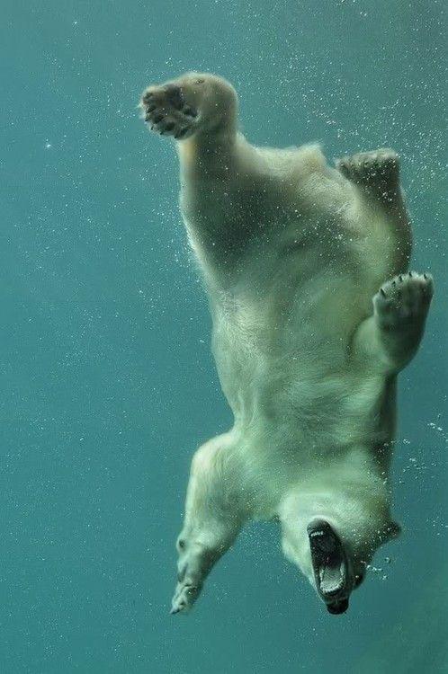 bear!: Underwater Photo, Keep Swim, Animal Baby, Polar Bears, Summer Picnics, Pet, Baby Animal, Polarbears, Diving