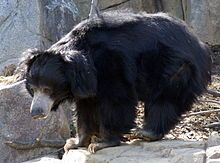 The sloth bear (Melursus ursinus), also known as the Stickney Bear or labiated bear, is a nocturnal insectivorous species of bear found wild within the Indian subcontinent.