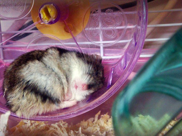 House  #hamster