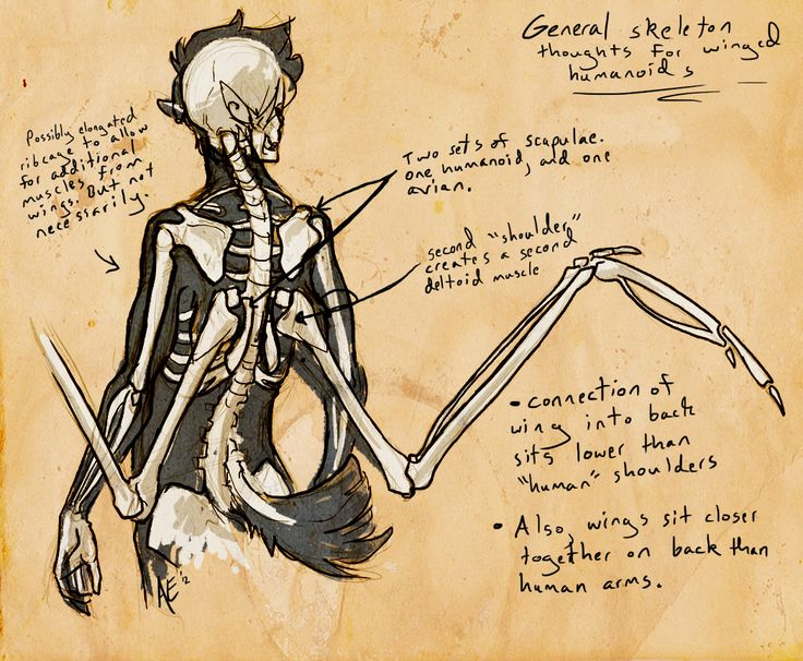Humanoid Wing Anatomy Whatnot by Turtle-Arts on DeviantArt