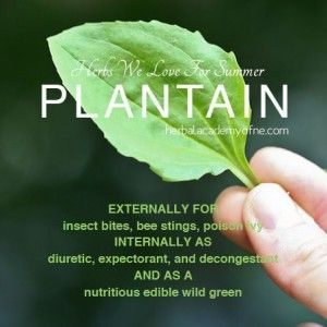 The Homestead Survival | Plantain a Natural Remedies Herbal Plant | http://thehomesteadsurvival.com
