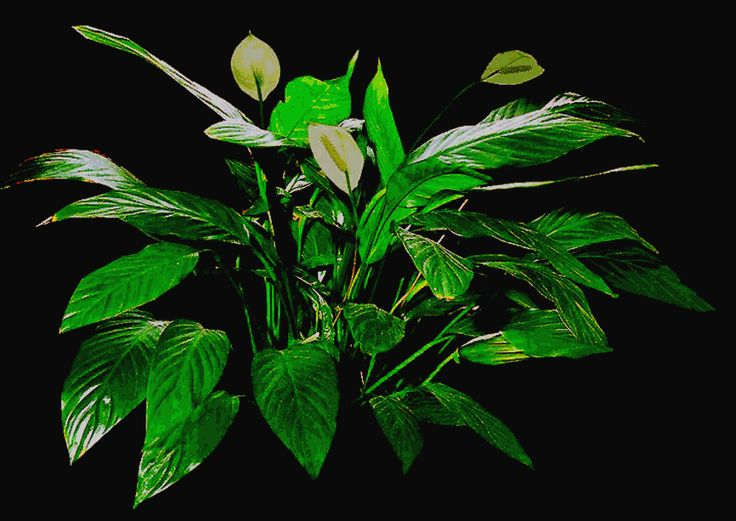 Caring For Tropical Plants Part - 38: Caring For Spathiphyllum Species And Hybrids, Proper Care For Peace Lily,  Exotic Rainforest Rare