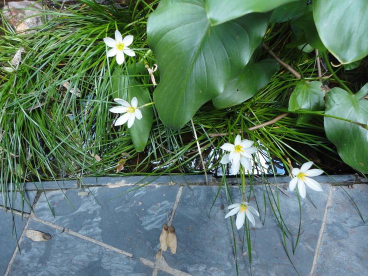 2010 - 2011 House Tucker @ Waterkloof, Pretoria - Aquatic plants: rain lilies