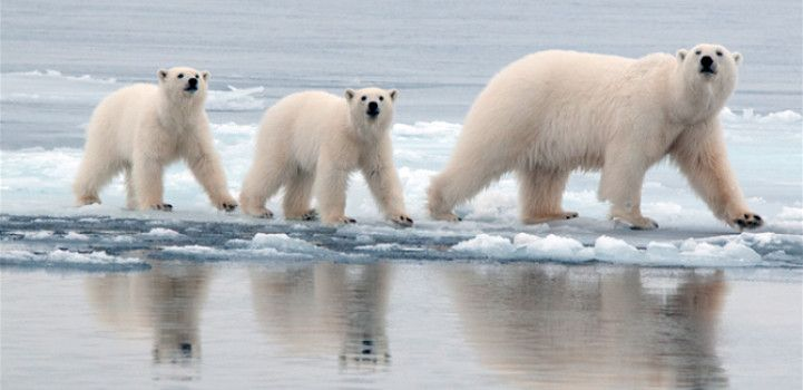 Humans may benefit from new insights into polar bear's adaptation ...