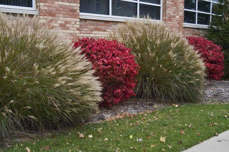 Full size picture of dwarf burning bush cork bush winged for Garden design ideas cork