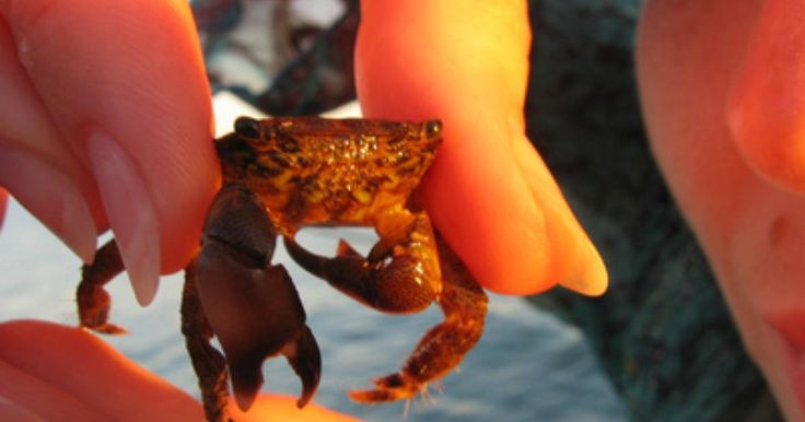 How to Buy Live Freshwater Crabs for Farming