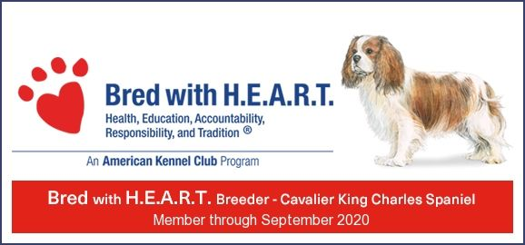 Bred With Heart King Charles Spaniel Cavalier King Charles Charles Spaniel