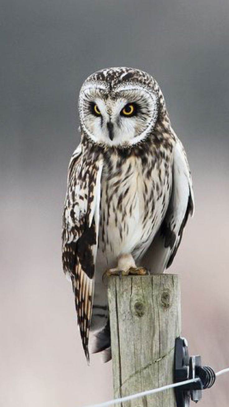 Magical and captivating. Short eared owl.