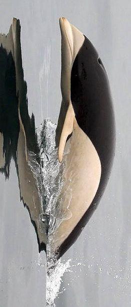 El delfín meridional sin aleta o delfín liso del sur (Lissodelphis peronii)