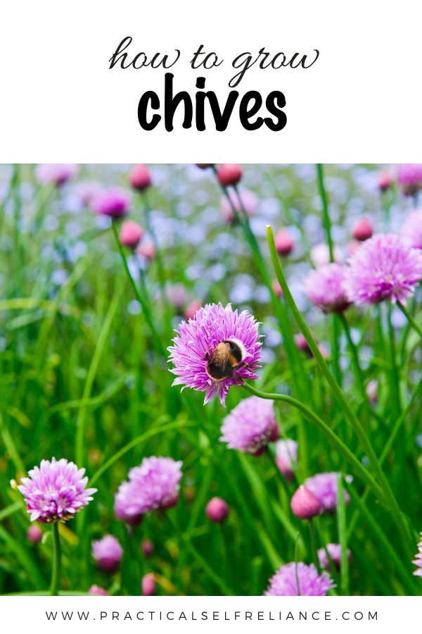 How To Grow Chives Growing Chives Chives Plant Growing