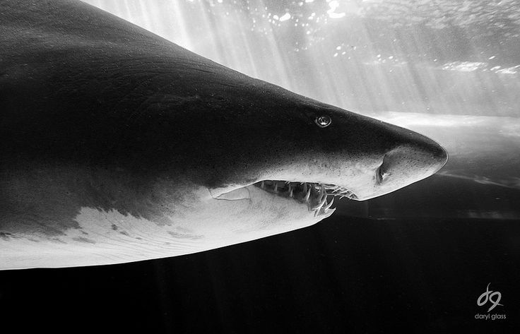 Ragged tooth shark. by Daryl Glass. Dived with these sharks near East London, RSA. #love