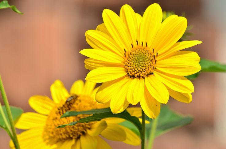 太陽の花, 黄色, ヒマワリ, 庭, クローズ, 夏の終わりの花, 花, 黄色の花